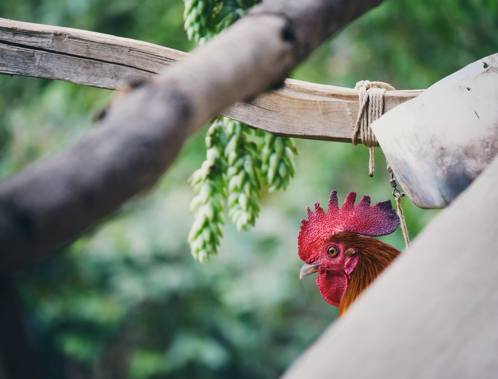 selective focused photo of a rooster