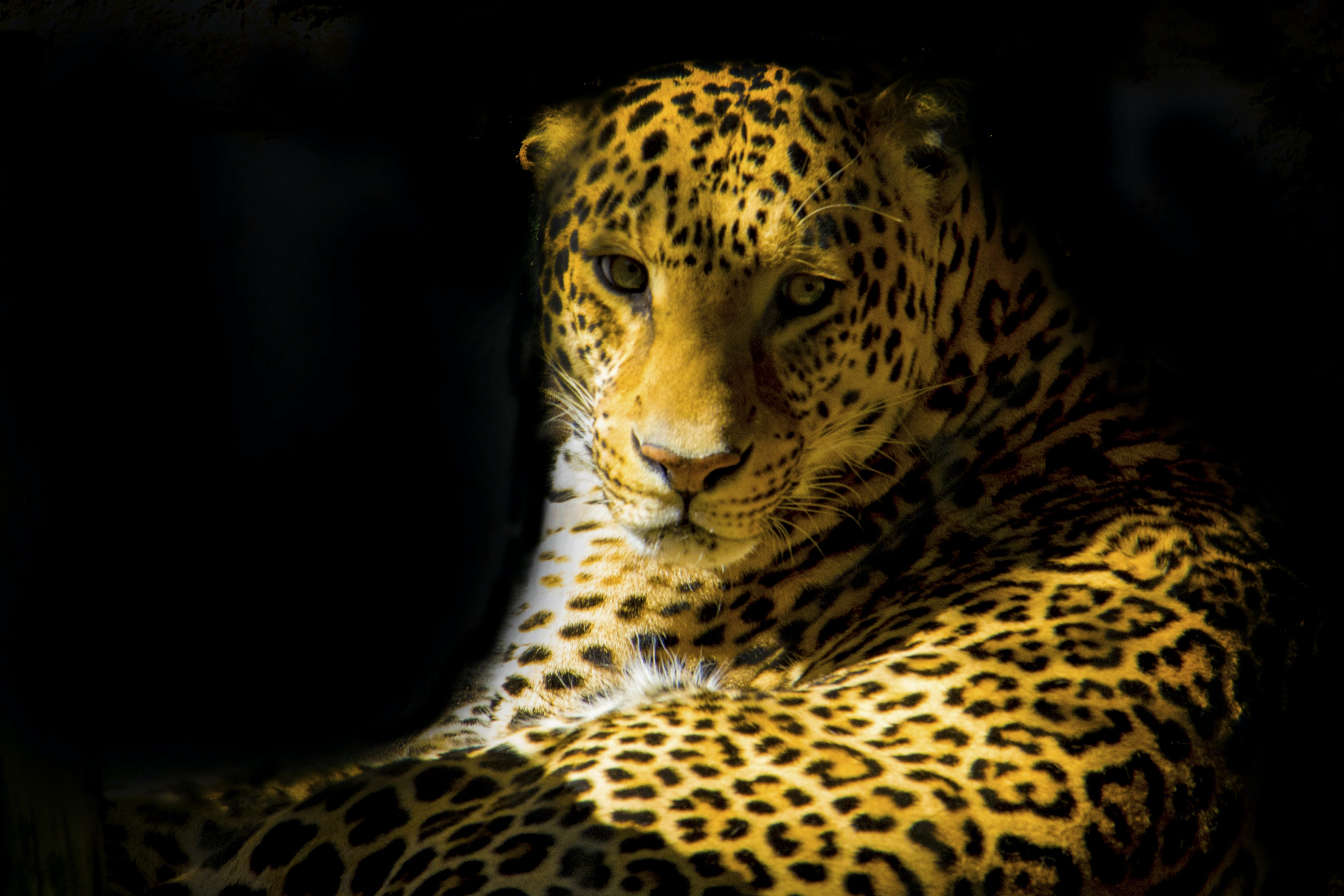 closeup photo of leopard