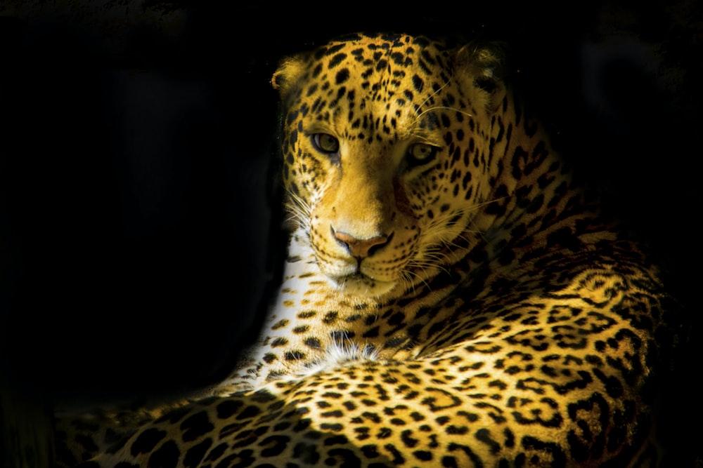 closeup photo of leopard