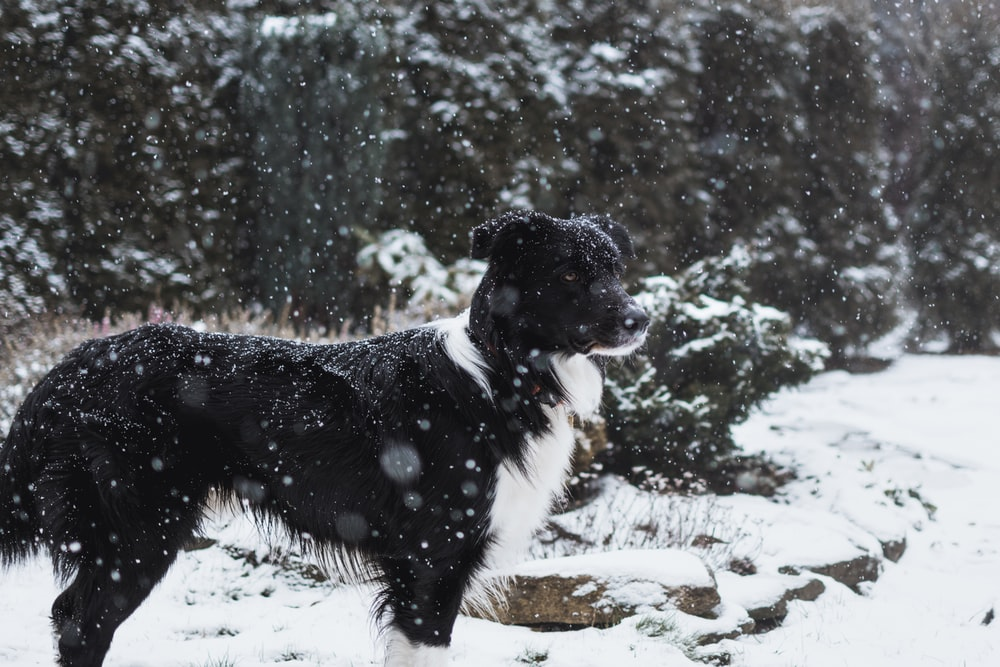 medium long-coated black and white dog standing near tree during winter