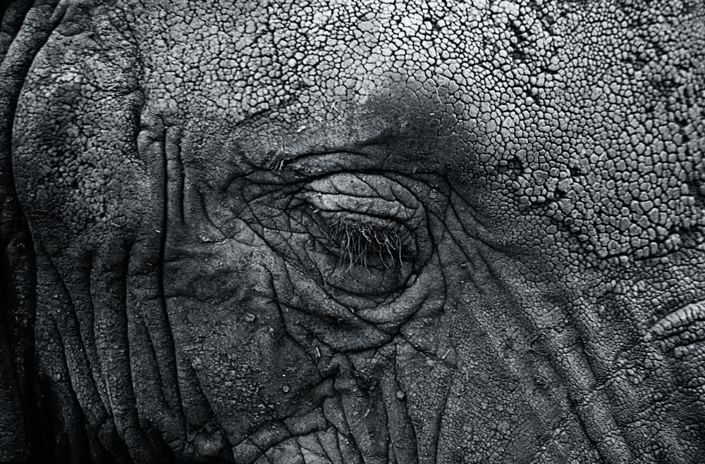 grayscale photography of elephant's right eye