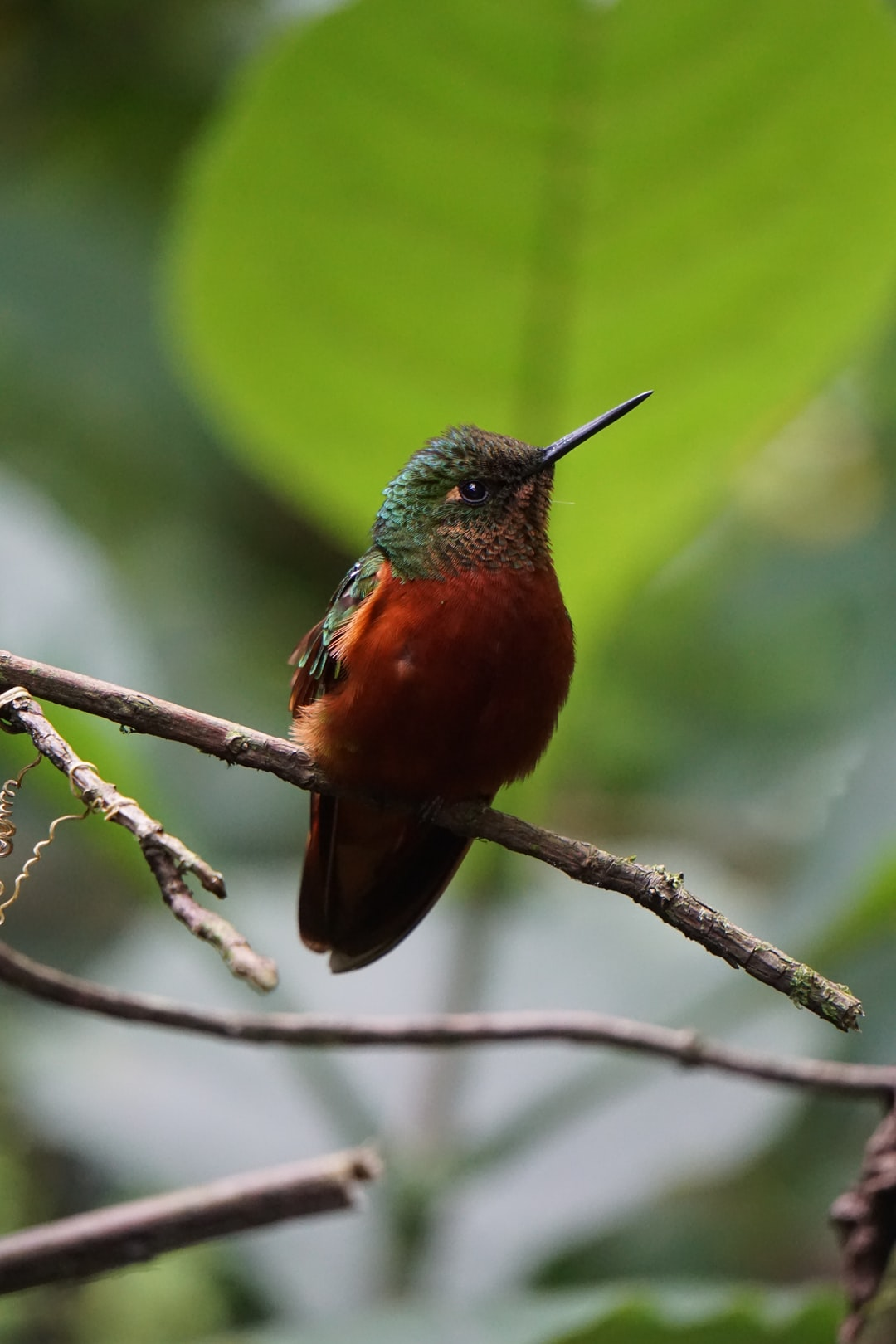 This was one of the rare colibris that stopped by to say hello while we were enjoying our lunch.