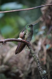Camouflage Colibri