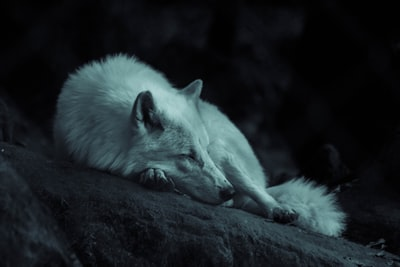 Wolf sleeping in the dark