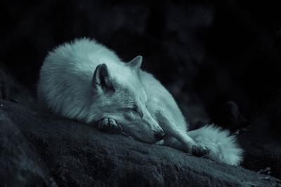 Wolf sleeping in the dark