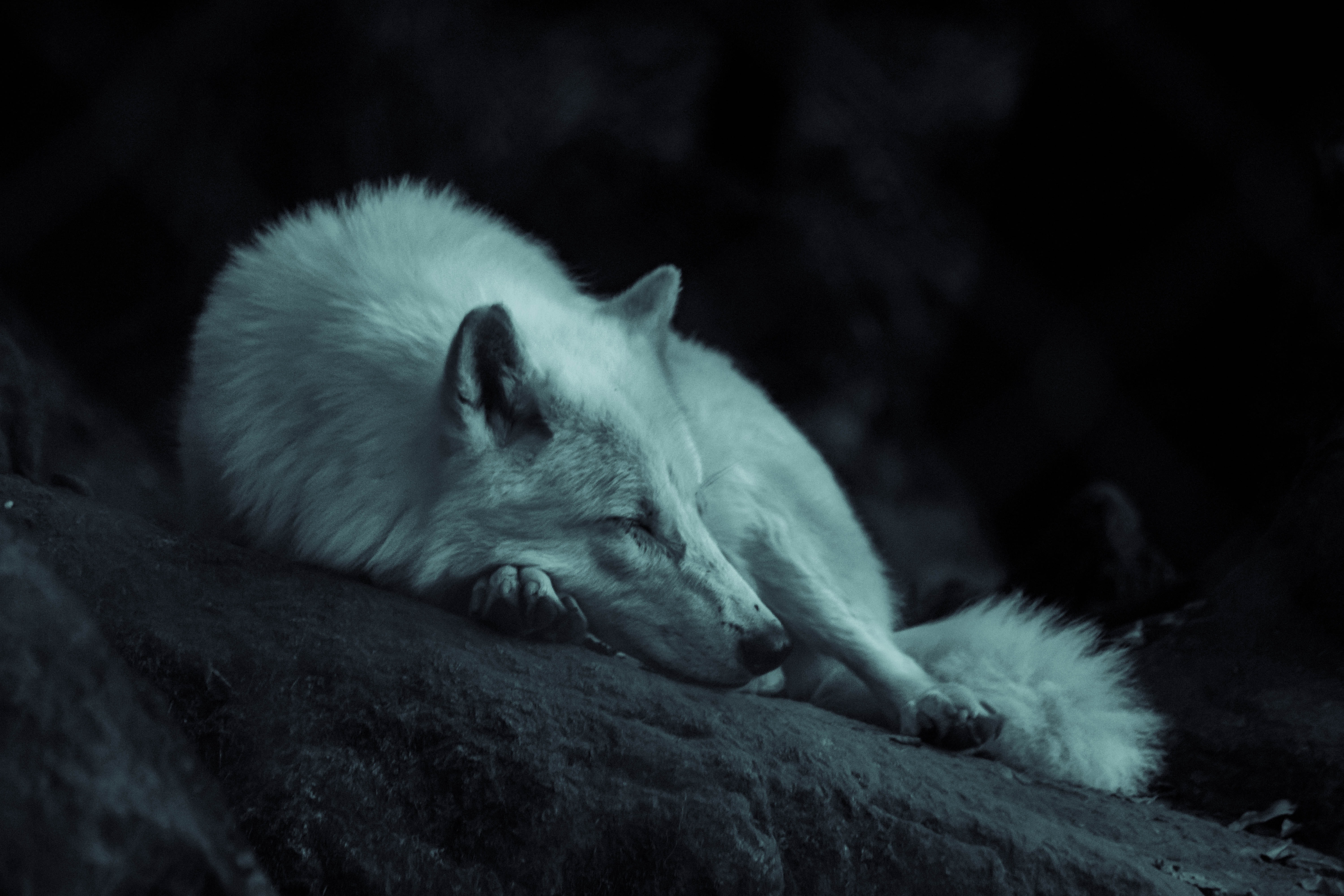 white fox laying on the ground