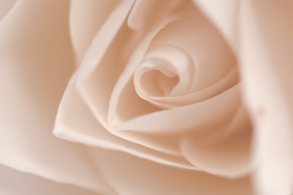 closeup photography of white rose