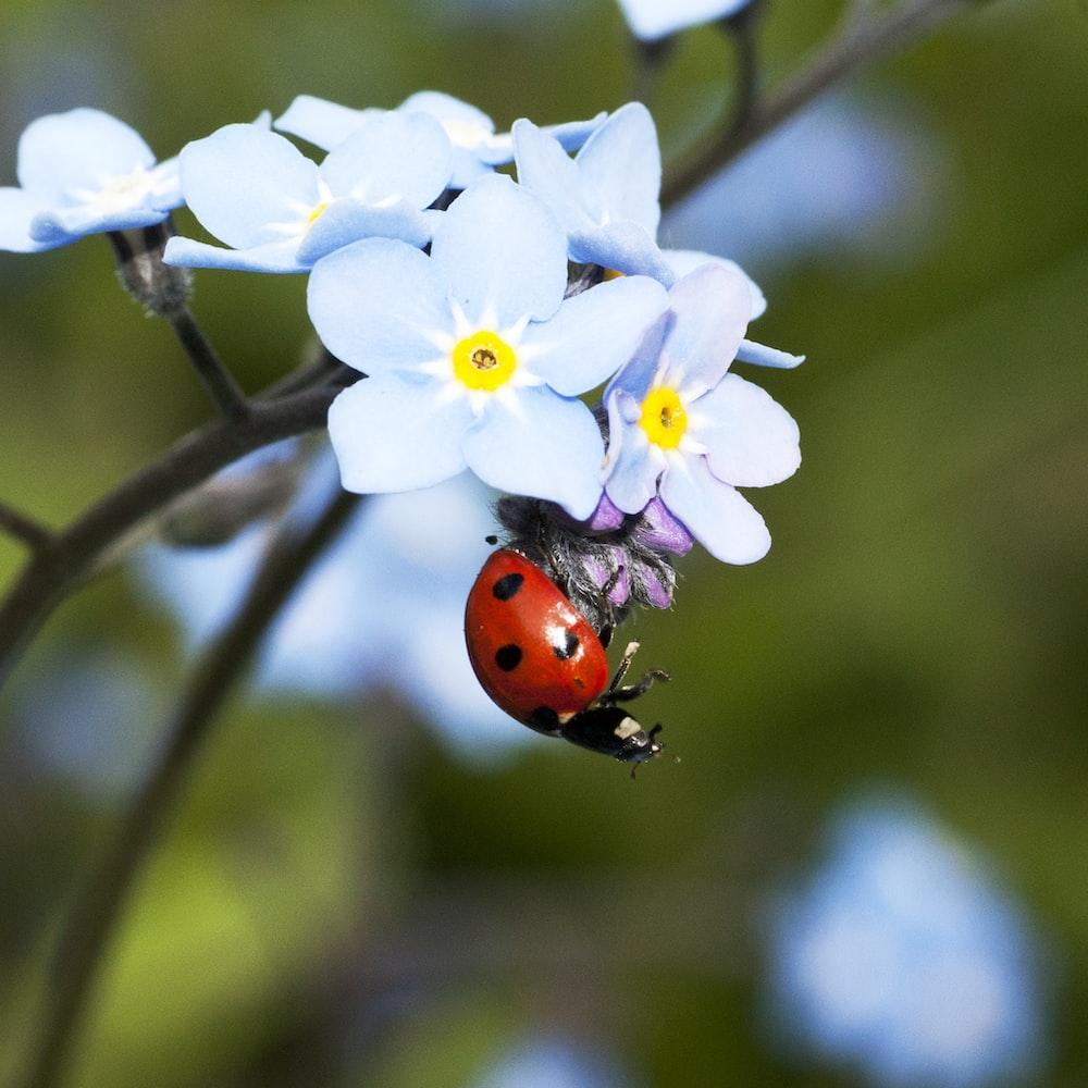selective focus photograph of ladybug on white petaled flower plant
