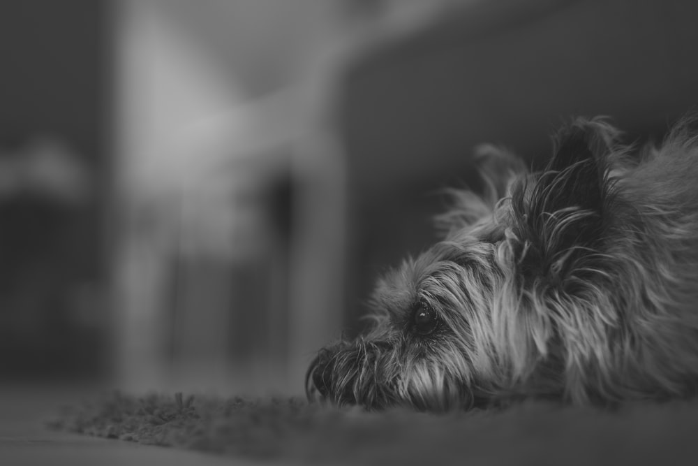 grayscale photo of long-coated dog on area rug