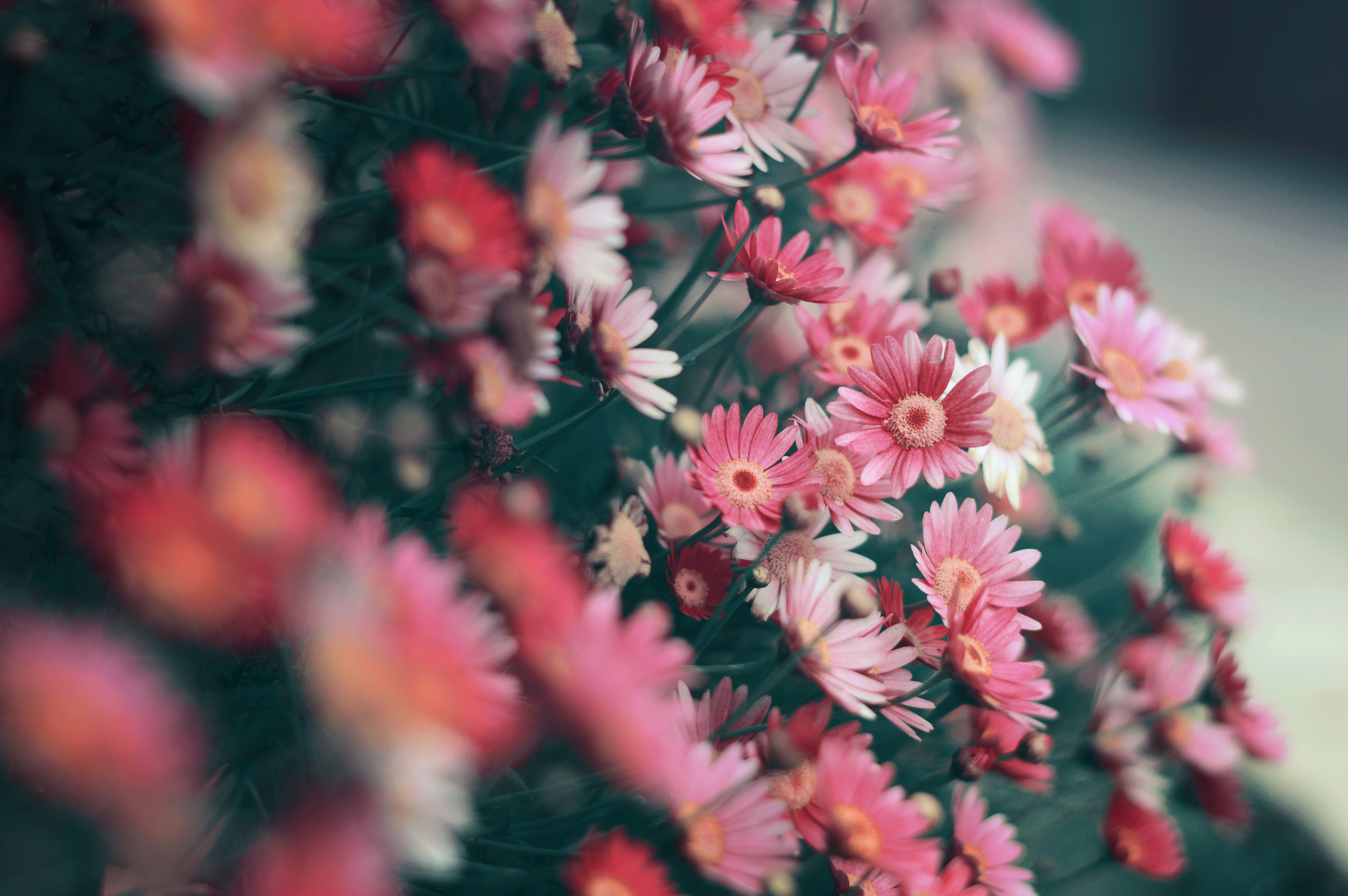 tilt shift lens photography of pink flowers