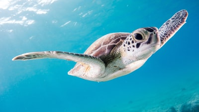 close up photography of brown sea turtle underwater teams background