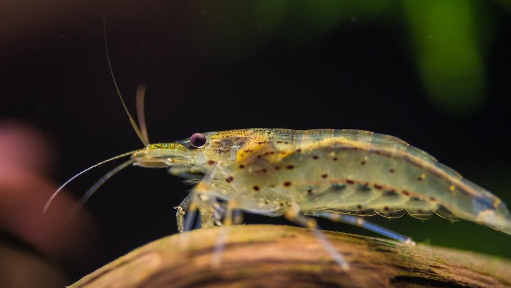 clear shrimp