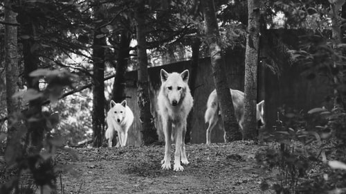 Wolves In The Woods