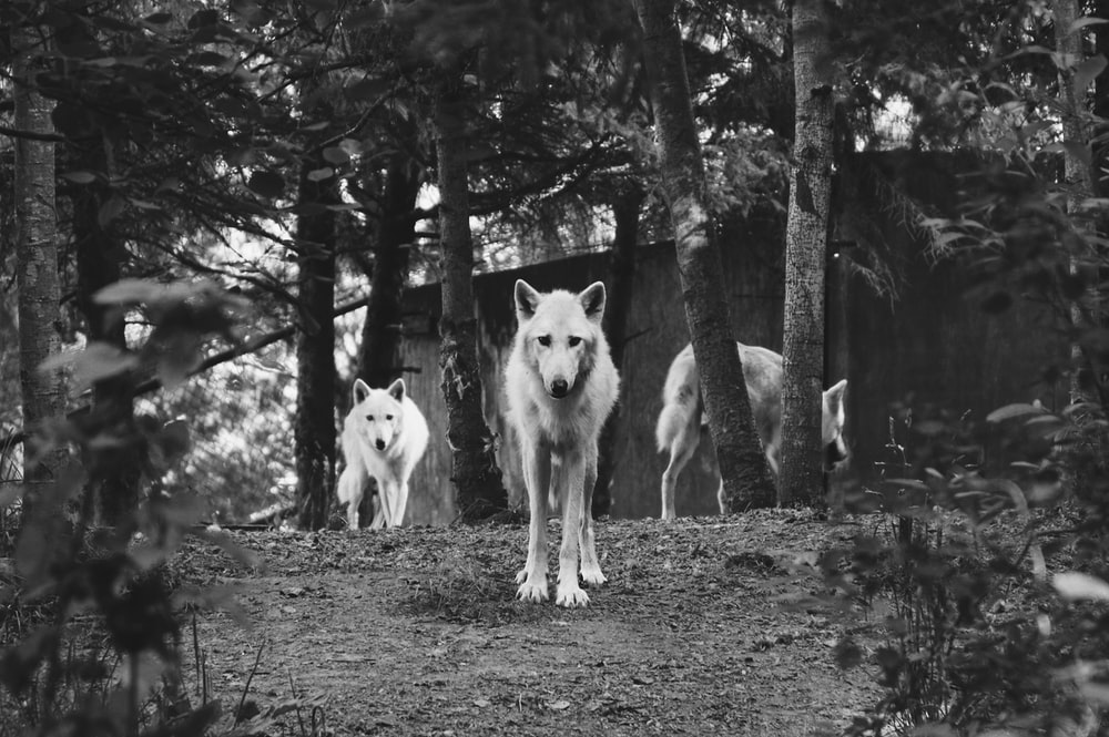 gray scale photo of three dogs on forest