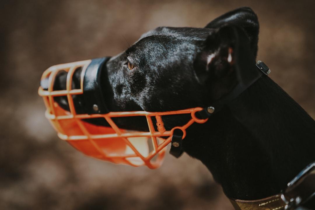 Greyhound waring muzzle