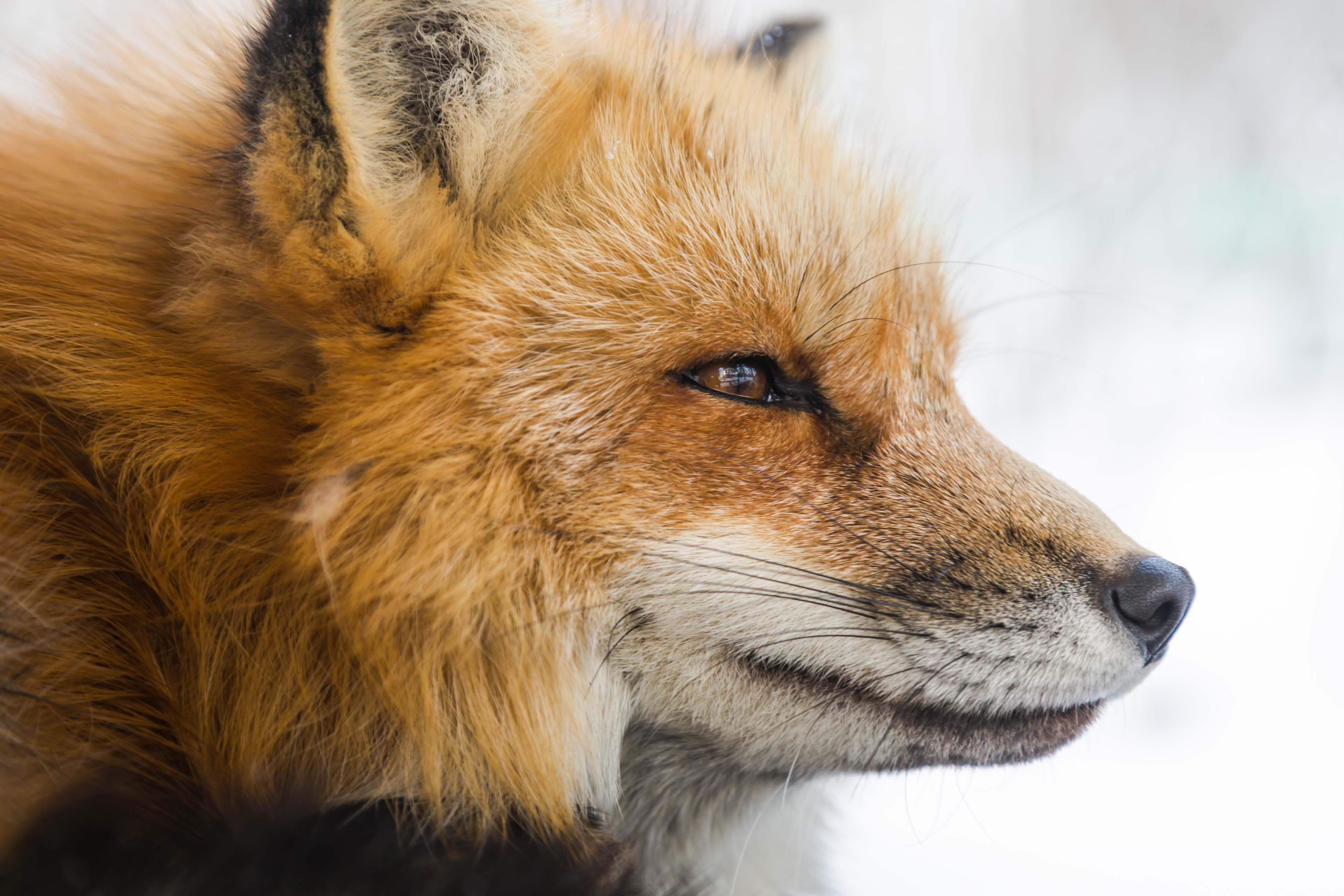 closeup photo of fox