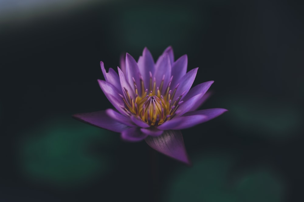 selective focus photography of purple petaled flower