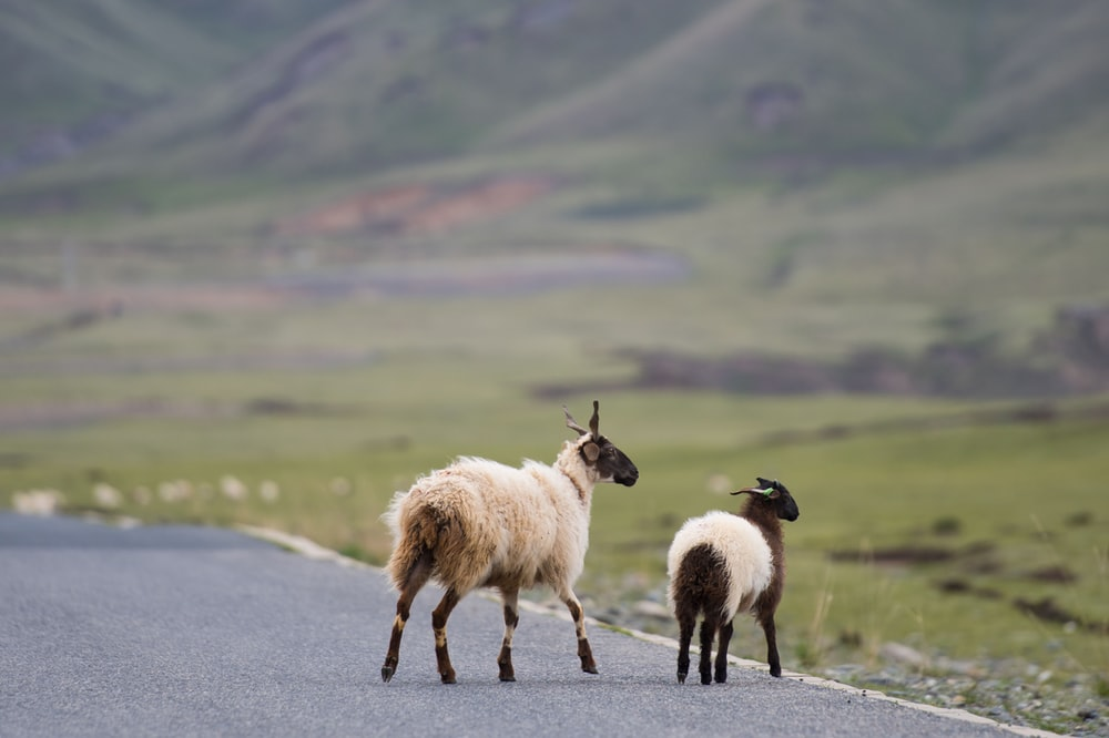 white and black goat on road during daytime