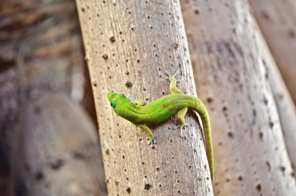 brown lizard closeup photography