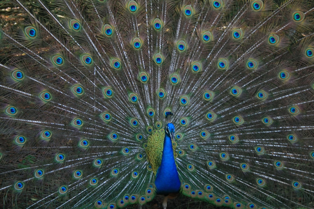 brown and blue peacock