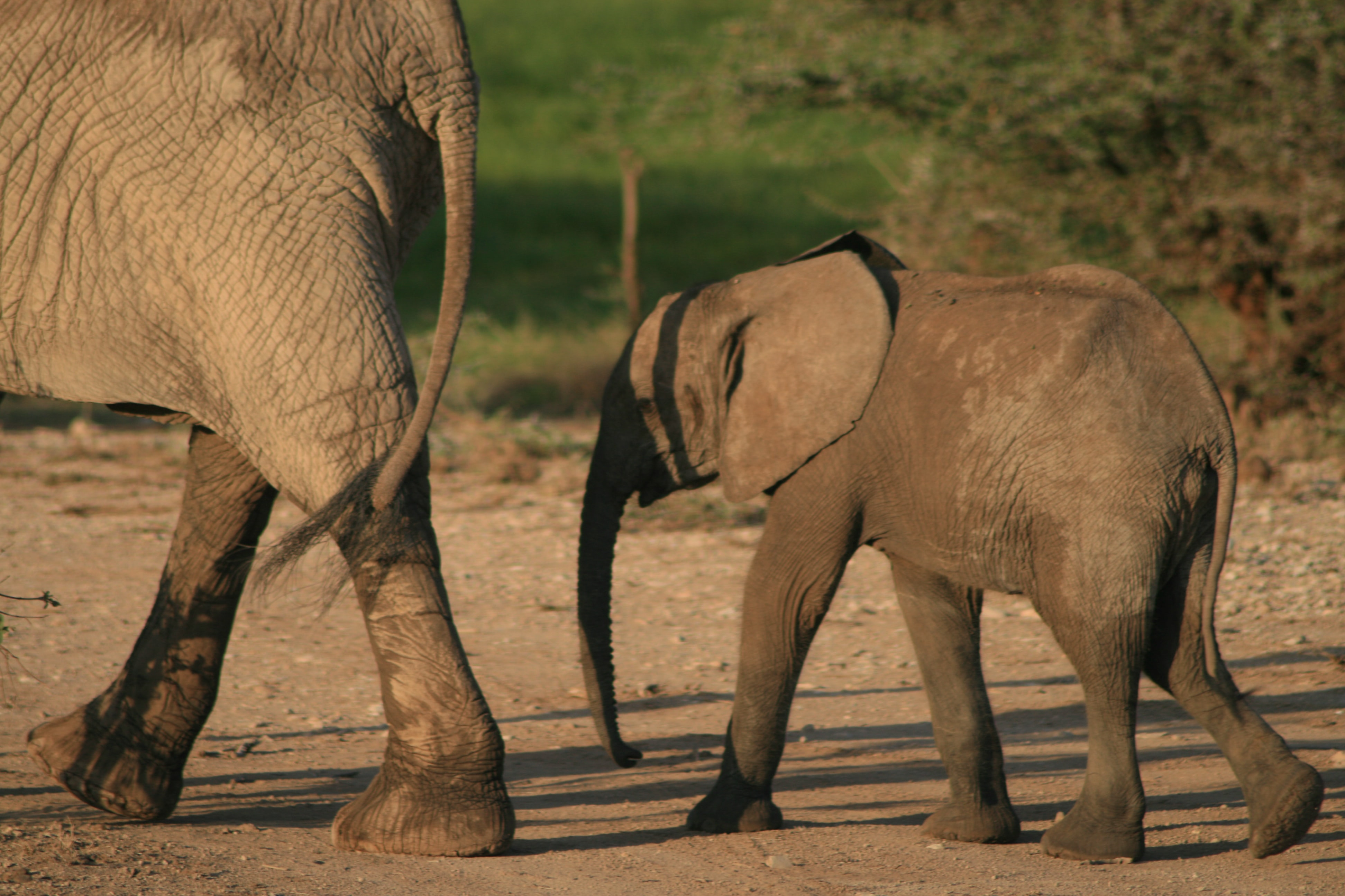 two grey walking elephants