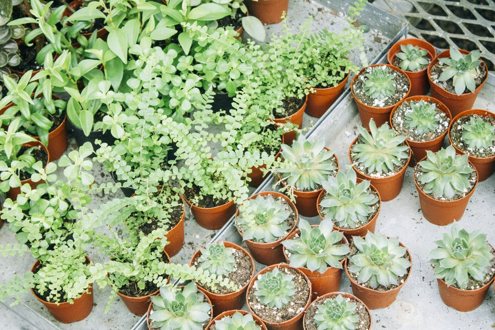 green succulents and green plants on pots