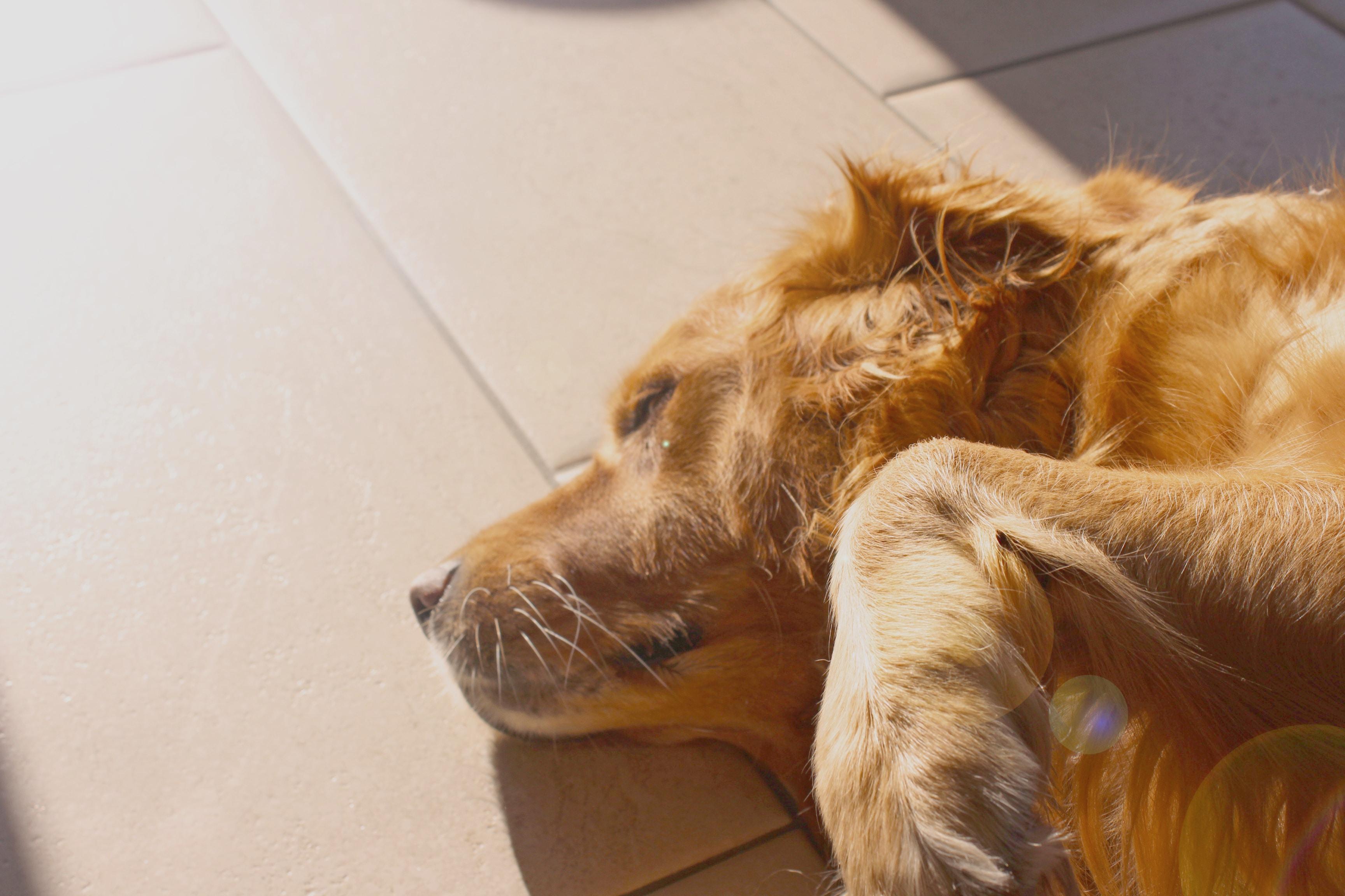 long-coated brown dog lying on floor