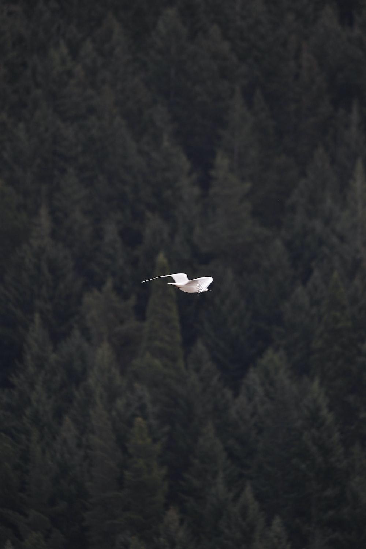 seagull at mid air