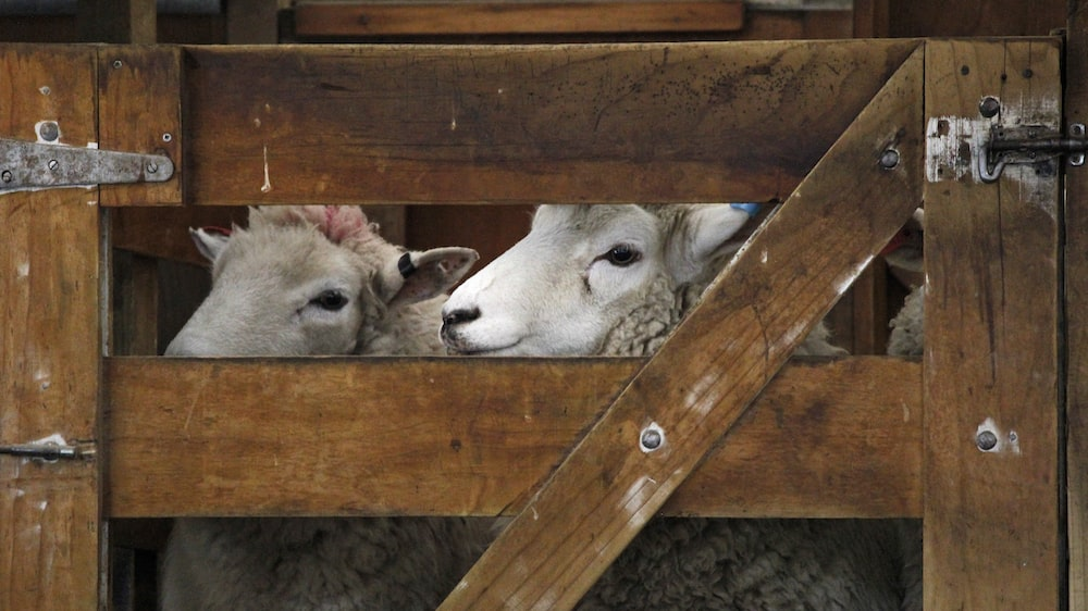 two white sheeps in cage