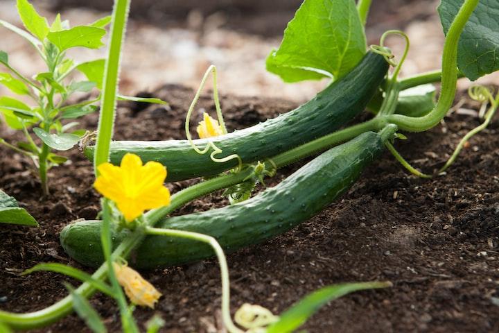 Climbing Colossal Cucumbers