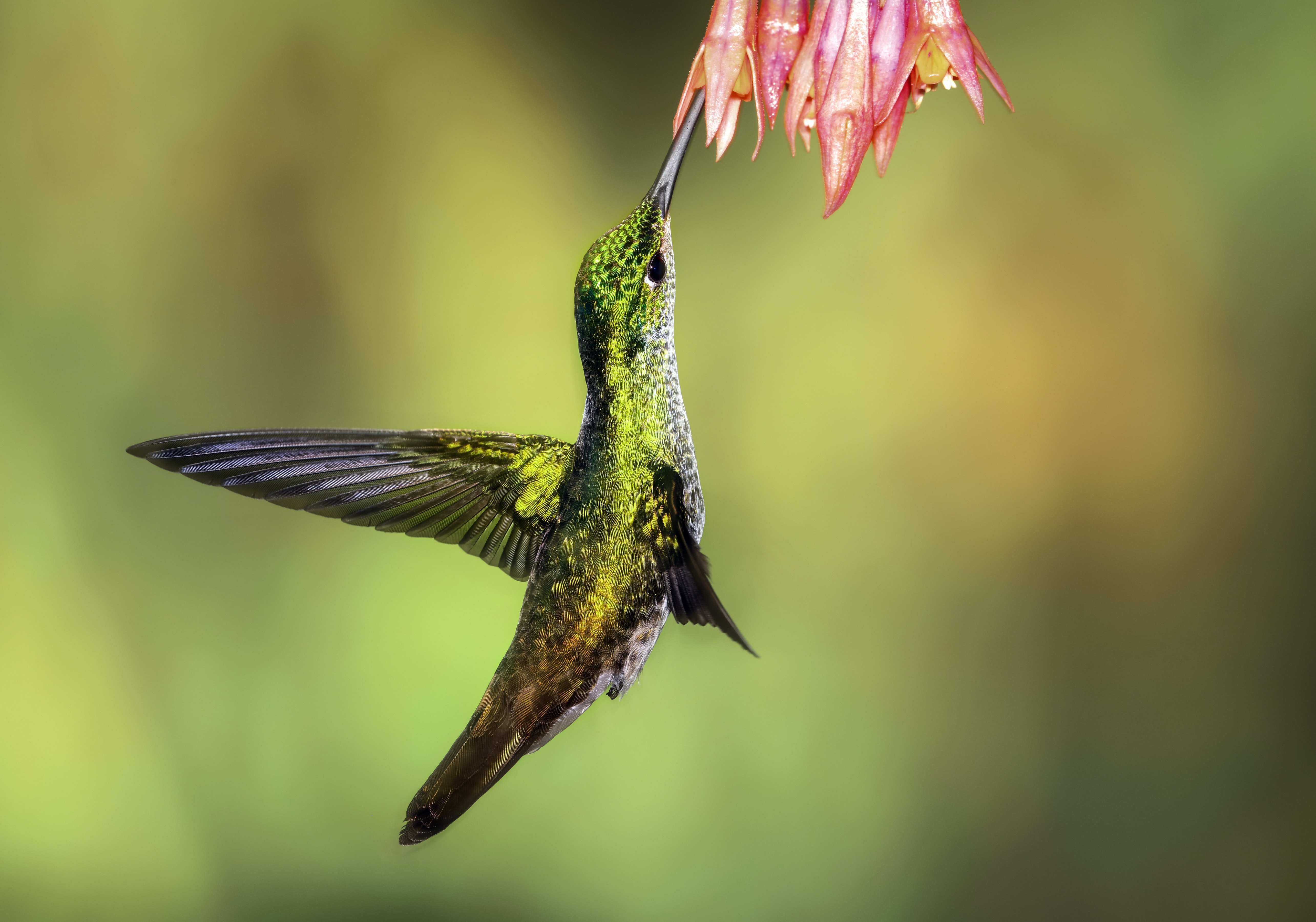 green hummingbird pollinating on pink petaled flowers