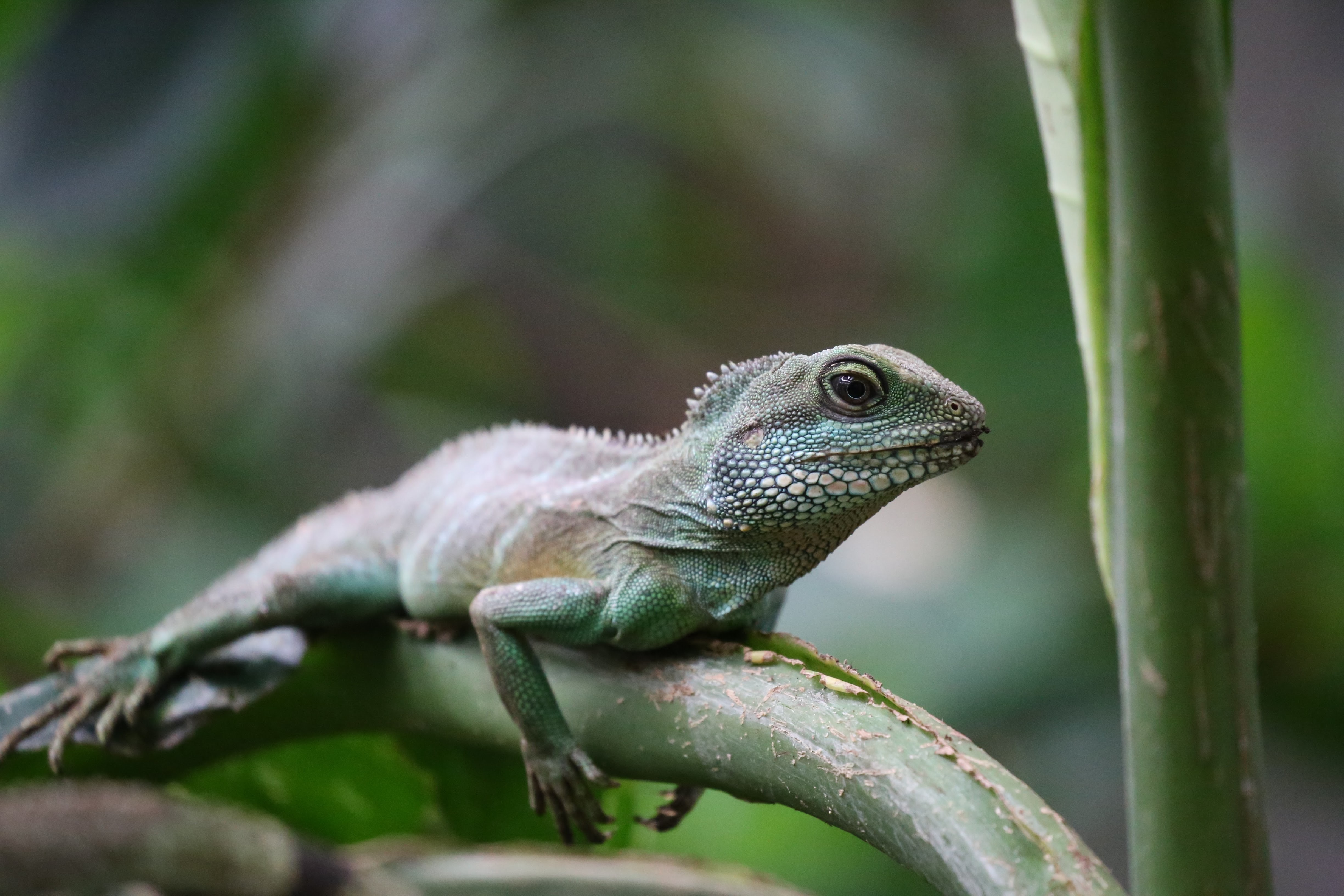 green iguana resting tree branch