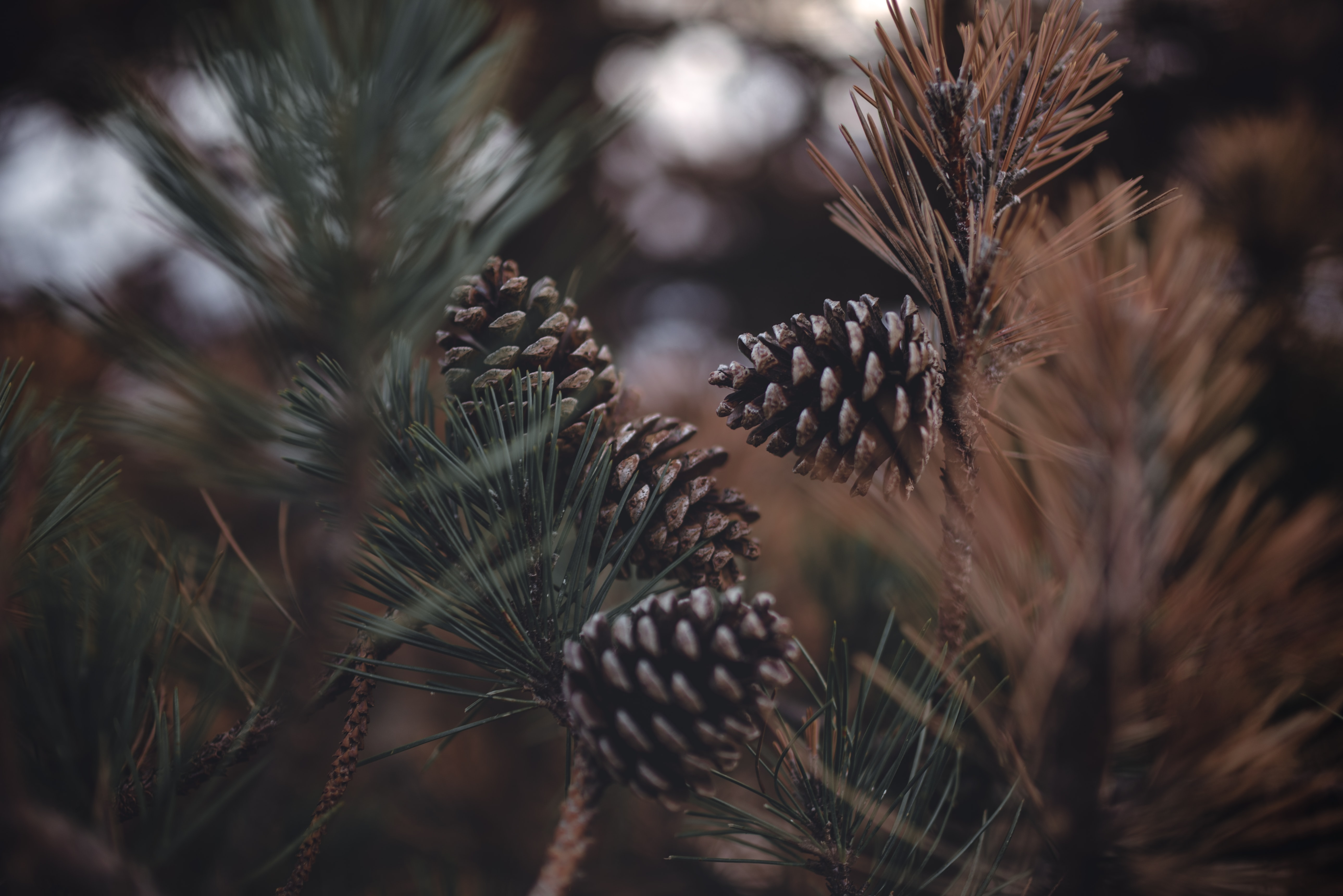tilt shift photography of brown pinecones
