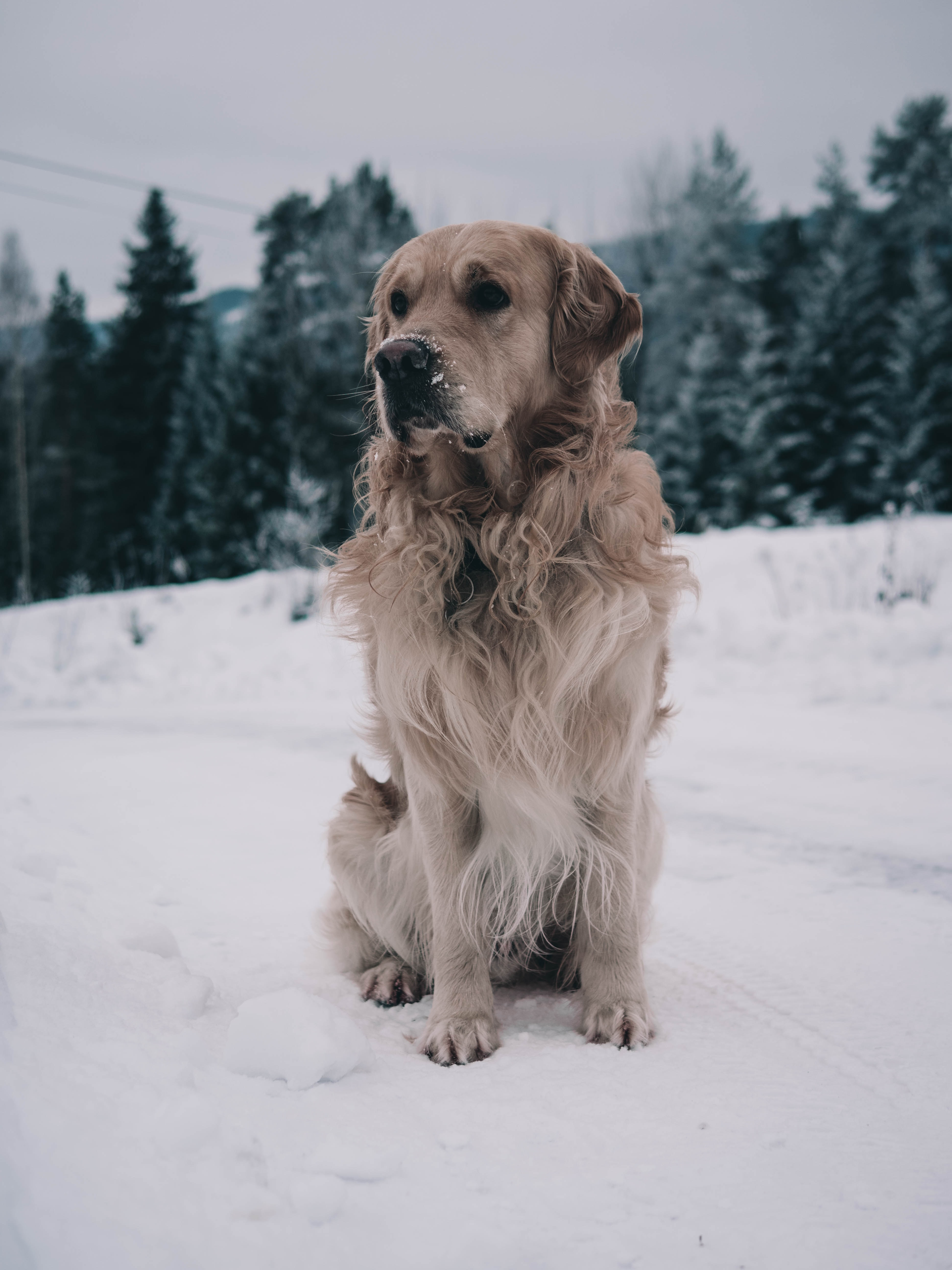 brown dog standing on snow near green trees