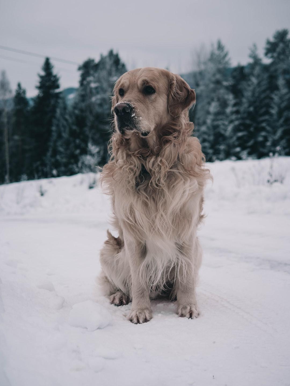 Golden Retriever in Winter Wonderland