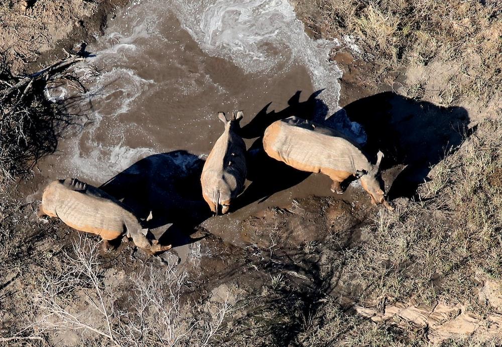 three hippotamos on open ground