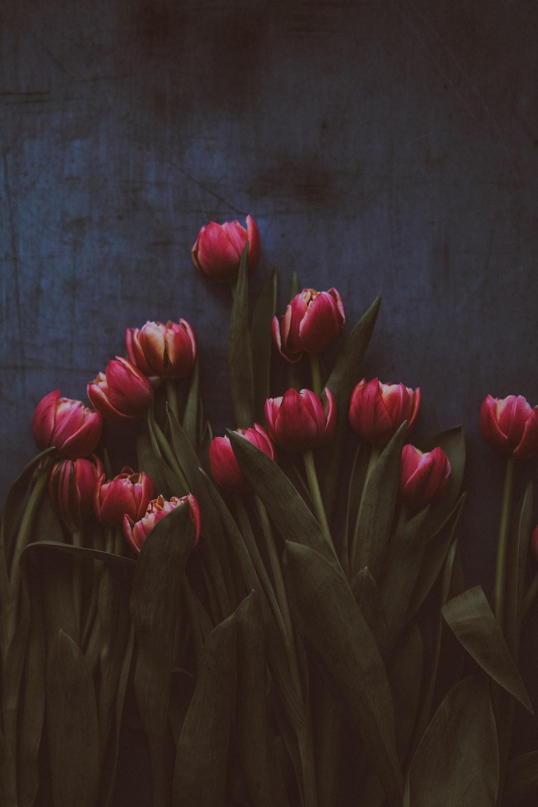 Tulips on dark background