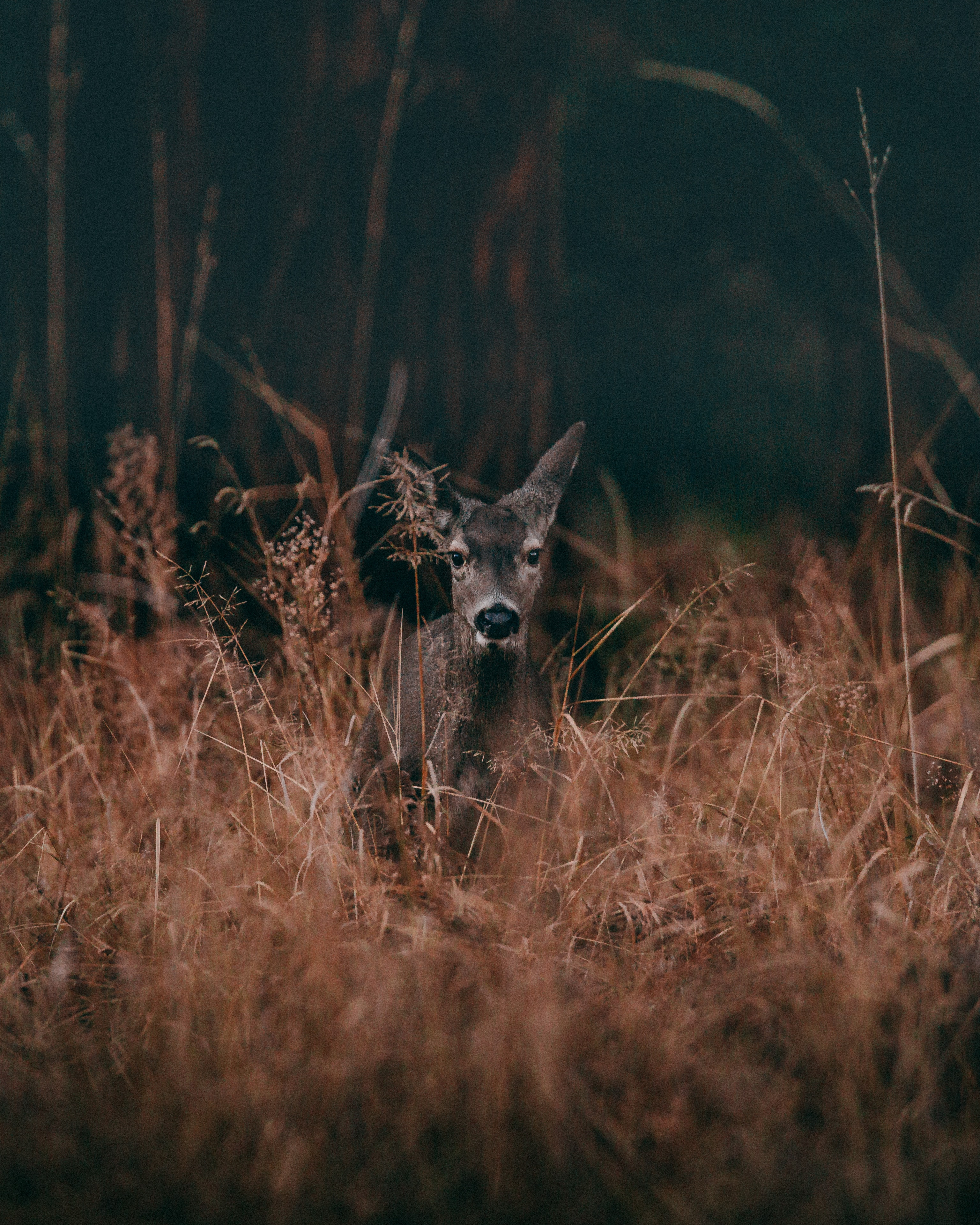 wildlife photography of gray deer surrounded by grass