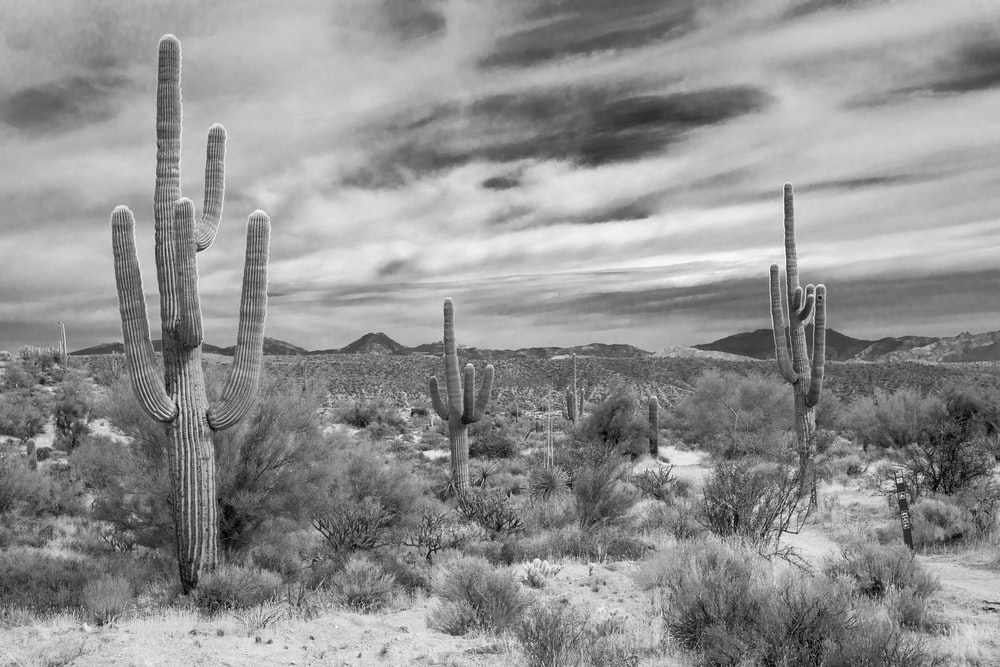 grayscale photography of cactus