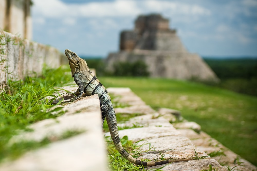 brown reptile standing on stair steps