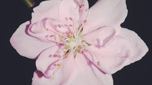 Li Young Lee's Blossoms