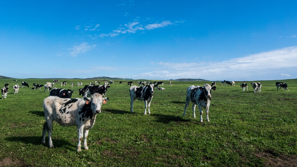 group of cow in the feild