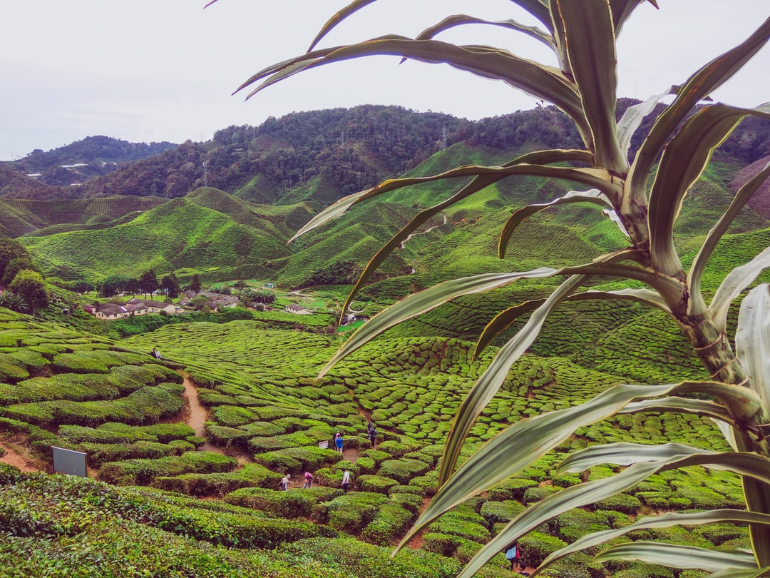Amazing view of tea valley