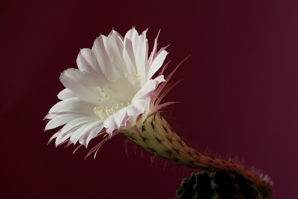 Cactus flower pictures download free images on unsplash white flower mightylinksfo