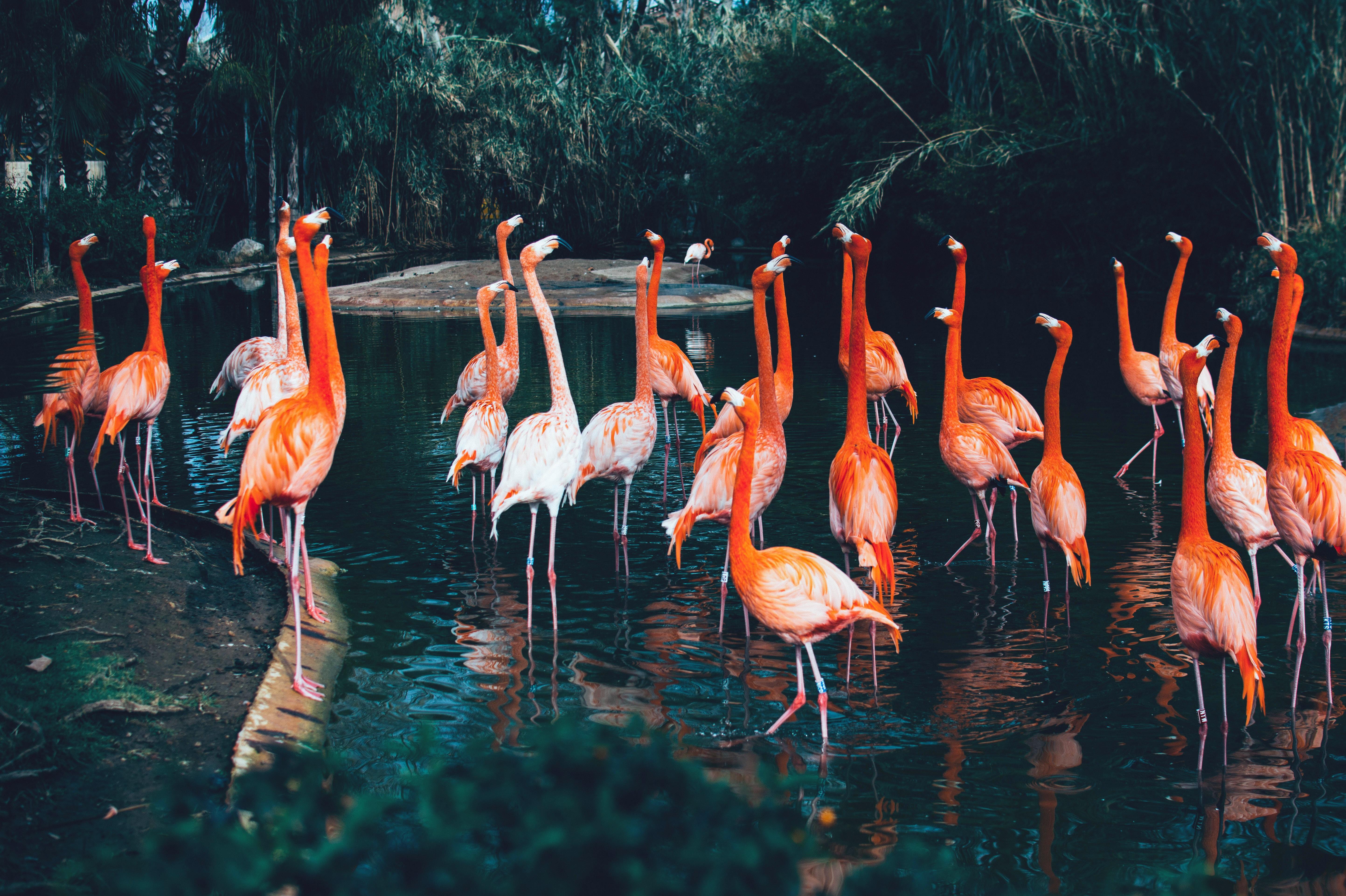 flock of flamingo