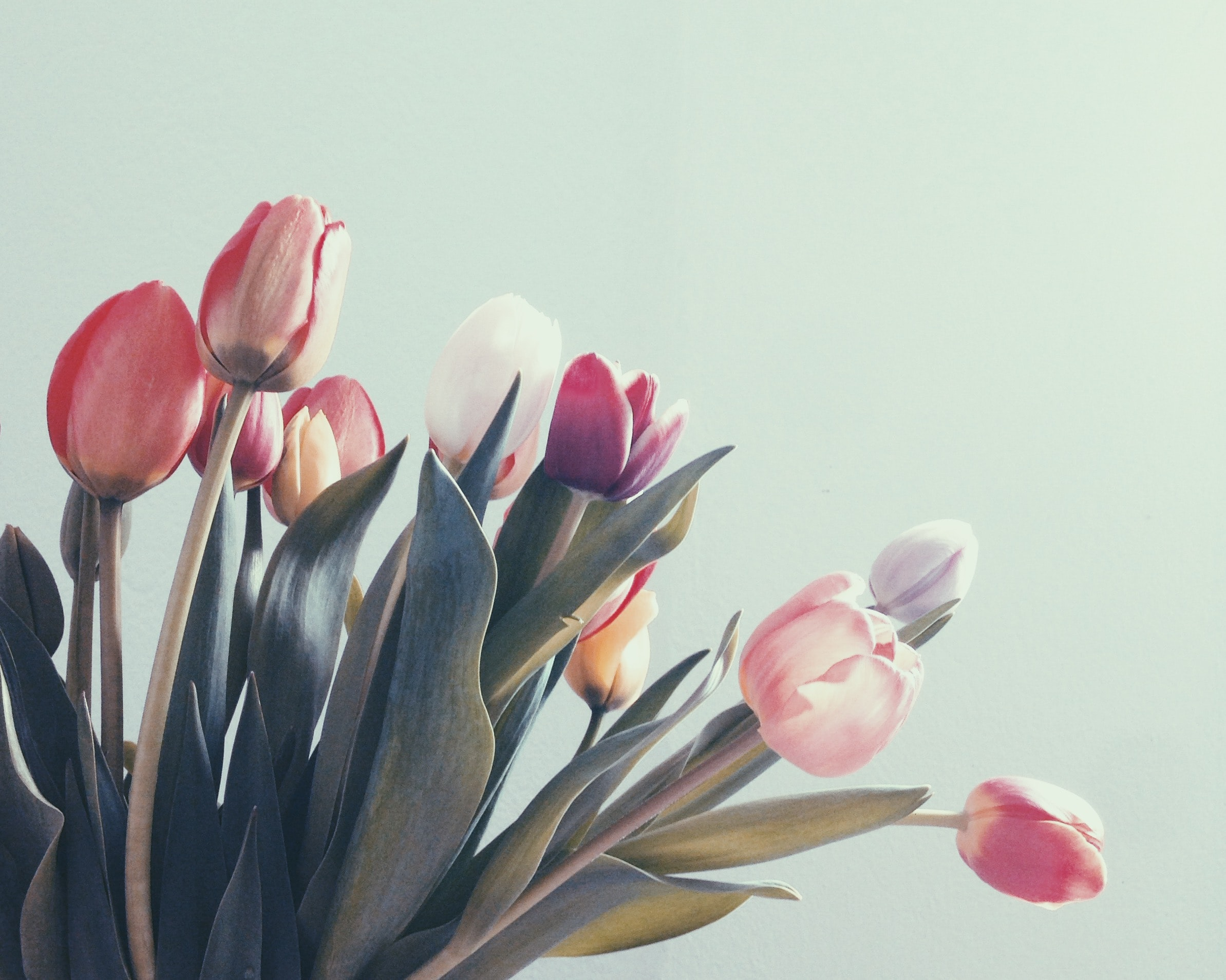 Flowers Pink Tulips Flower Wallpaper x Cool PC