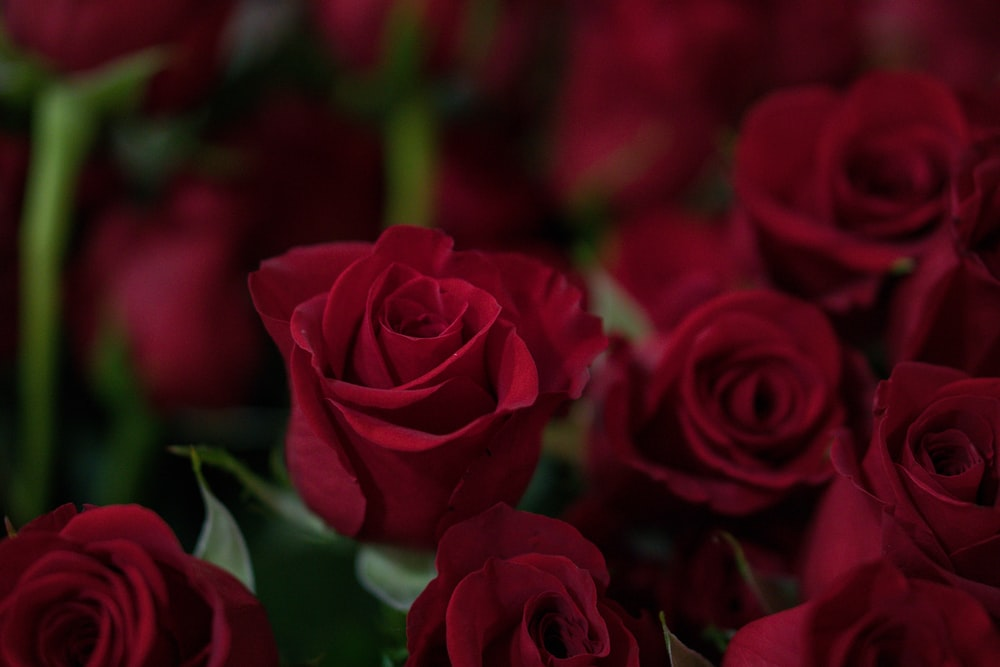 closeup photo of red roses