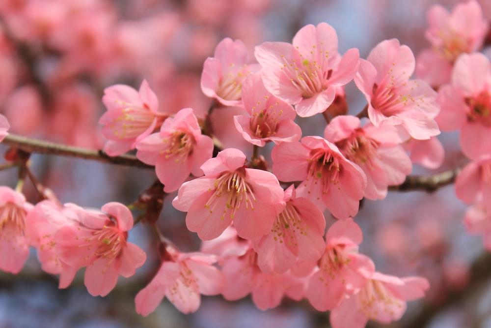 550 Sakura Flower Pictures Download Free Images On Unsplash