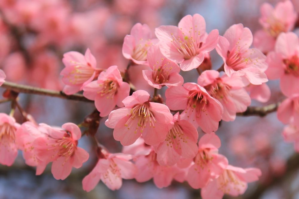Image result for sakura flower