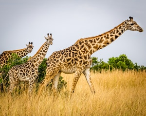 a group of giraffe standing on top of a dry grass field